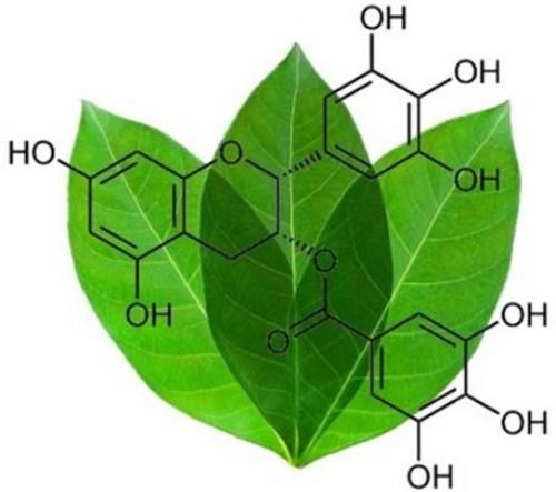 Trong trà xanh có chất Catechin tốt cho răng và nướu