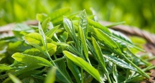 Cách làm trắng răng bằng trà xanh đạt hiệu quả tối đa