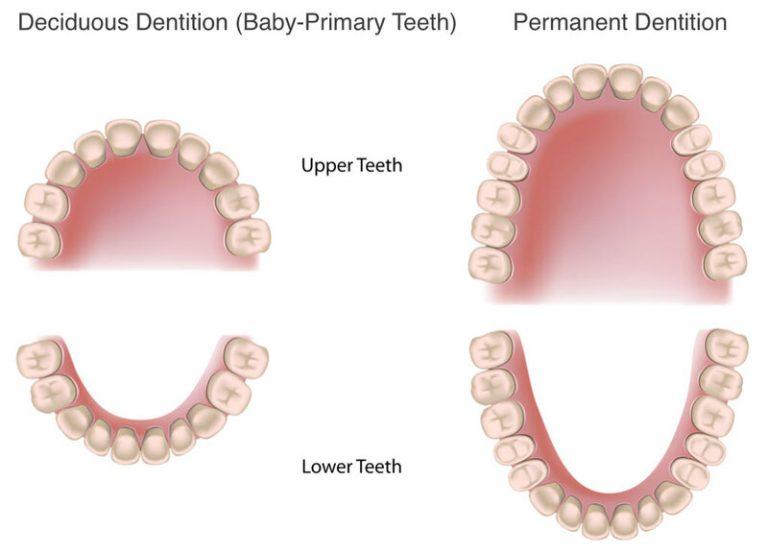 Các răng nằm sâu bên trong khó vệ sinh hơn so với răng mặt ngoài